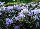 Koberech modrých květů