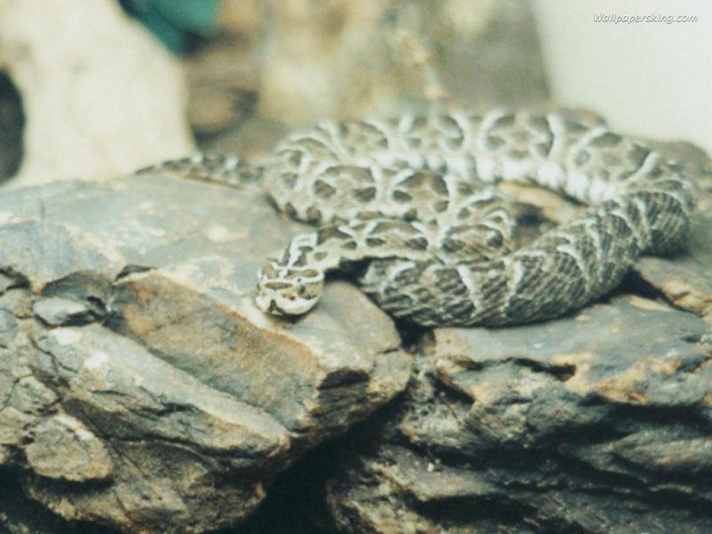 Výsledek obrázku pro had na kameni